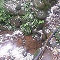 2013-04-27 新竹油桐花
