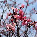 20140202(初三)陽明山櫻花