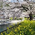 2010.4.4-2京都春爛漫