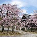 2010.4.10京都春爛漫