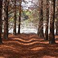 親近大自然-103年光影交錯的落羽松地毯