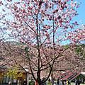 賞花趣-103年武陵櫻花林