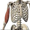 3D動態人體肌肉解剖圖