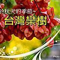 105台灣欒樹