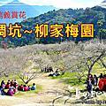 南投信義賞梅~風櫃斗,牛稠坑,柳家梅園