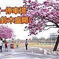 紫南宮風洋紅風鈴木