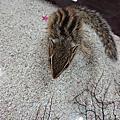 松鼠(花栗鼠,條紋松鼠,大赤鼯鼠)