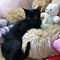我可愛的小黑貓~Jaguar