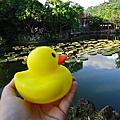 1021013雙溪公園大王蓮