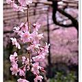 2012春賞櫻。京都