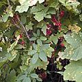 0728 紅醋栗和紅莓