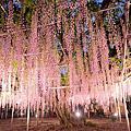 '16 05/06 足利花卉公園 漂亮的藤花