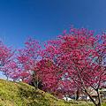 20140201-新社櫻花季