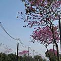 2016-02-29粉紅風鈴木