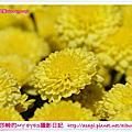 2012苗栗銅鑼杭菊芋頭節|亞莎崎的攝影實習Diary