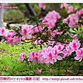 忠誠公園杜鵑花開|亞莎崎的攝影實習部