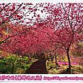 新社沐心泉休閒農場八重櫻、富士櫻花開正盛|亞莎崎拍攝於2015