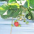 。攝影。大湖草莓園。