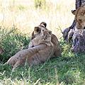 肯亞.動物大遷徙