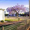 藍花楹 Jacaranda