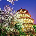 台灣櫻花之美