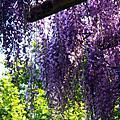 2015 0501-05 紫藤芝櫻賞花去