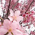 970322洲美櫻花盛開