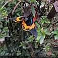 橙帶藍尺蛾
