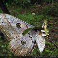 大綠目天蠶蛾-2