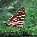 台灣小灰蛺蝶