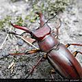 姬深山鍬形蟲