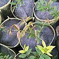阿根廷樹葡萄