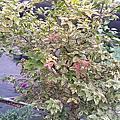 斑葉樹葡萄