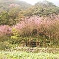2010 陽明山賞櫻花