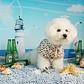 比熊犬-寶貝&樂樂巨星照