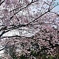 2020-0321 台北市士林區 橘咖啡 吉野櫻盛開