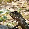20070708-攀木蜥蜴