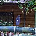 20070707-遇見紫嘯鶇