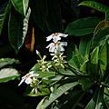 植物筆記-海檬果開花-2007