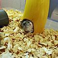 小肥鼠海瓜子