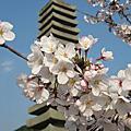 2009關西賞櫻