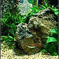 60cm  海灣缸