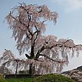 2011-04-11 京阪奈賞櫻第二天 in Kyoto