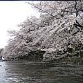 井の頭公園-櫻花盛開中