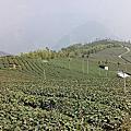 碧湖觀光茶園
