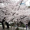 2016北九州櫻花行
