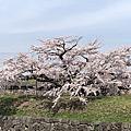 2018北海道櫻花紛飛