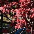 20140411陽明山竹子湖海芋季