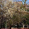 20150118福林公園梅花季