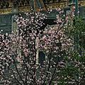 20190408竹林山寺印象&櫻花季